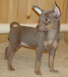 Yuvi, chien Chihuahua