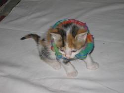 Ecaille, chat Gouttière