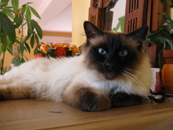 Sweety, chat Birman