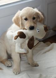 Gessie, chien Golden Retriever