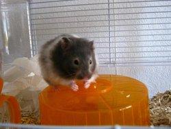 Bigmama, rongeur Hamster
