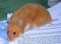 Tony, rongeur Hamster