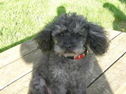 Diane, chien Caniche