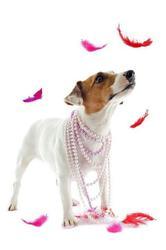 Echalote De La Haute Chaumiane, chien Jack Russell Terrier