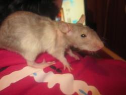 Echalotte, rongeur Rat