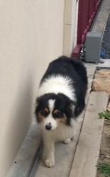 Écho, chien Berger australien