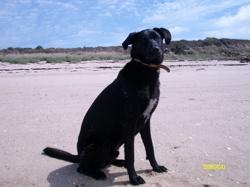 Écho, chien Épagneul bleu de Picardie
