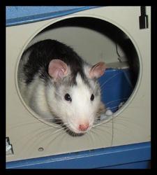 Echo, rongeur Rat