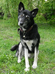 Echo, chien Husky sibérien