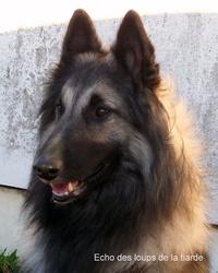 Echo, chien Berger belge