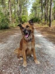 Ecko, chien Berger australien