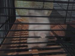 Eclair, rongeur Hamster