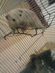 éclair, rongeur Hamster