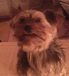 Eclair, chien Yorkshire Terrier