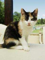 Eclair, chat Européen