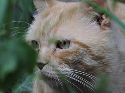 Eclair, chat Angora turc