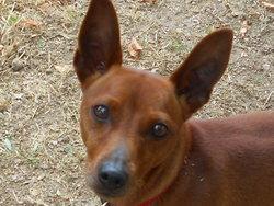 Eclair, chien Pinscher