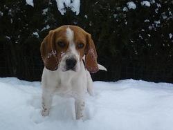 Eclair, chien Beagle