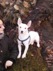Eclair, chien Jack Russell Terrier
