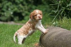 Eclaire, chien Épagneul breton
