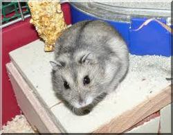 Eclipse, rongeur Hamster