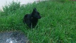 Eclipse, chien Schipperke
