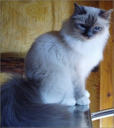 Eclipse, chat Birman