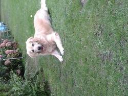 Eclipse , chien Golden Retriever