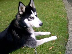 Eclipse, chien Husky sibérien