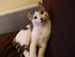 Eclispe, chat Européen