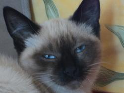Eclypse, chat Siamois