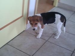 Ecume, chien Beagle