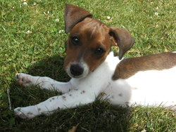 Lolly, chien Jack Russell Terrier
