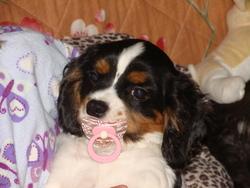 Scotch, chien Cavalier King Charles Spaniel