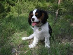 Sasha, chien Cavalier King Charles Spaniel