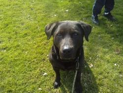 Kaya, chien Labrador Retriever