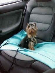 Diskette, chien Yorkshire Terrier