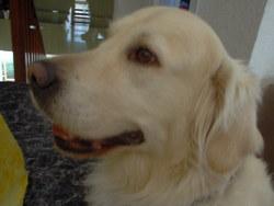 Unique, chien Golden Retriever