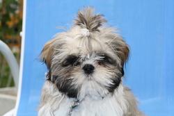 Gaby, chien Shih Tzu