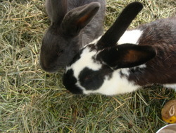 Bulle, rongeur Lapin