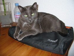 Alex, chat Chartreux