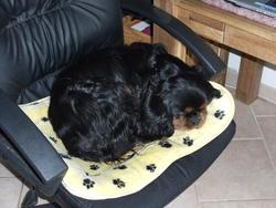 Very-Boy, chien Cavalier King Charles Spaniel