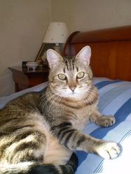 Verlaine, chat Européen