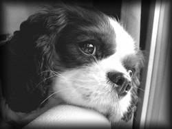 Eddi, chien Cavalier King Charles Spaniel