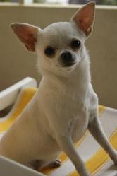 Eddie, chien Chihuahua