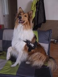 Eddy, chien Colley à poil long