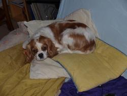 Arielle, chien Cavalier King Charles Spaniel