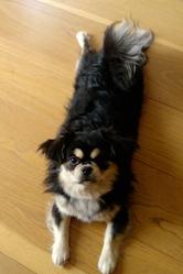 Edel, chien Épagneul tibétain