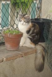 Edelweiss Des Jardins De Plaisance, chat Norvégien