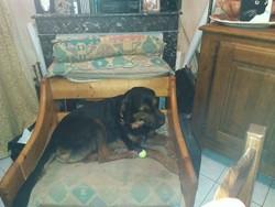 Eden, chien Beauceron